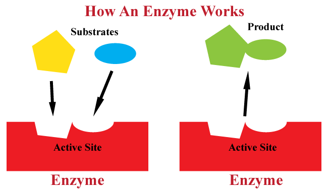 enzyme activity like a lock and key