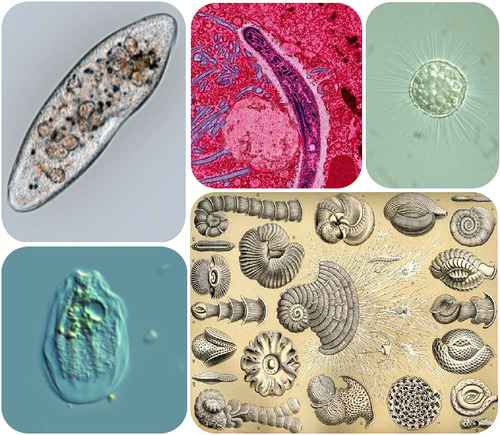Protists come in many different shapes