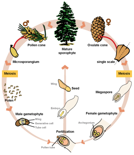 Gymnosperm Life Cycle ( Read ) | Biology | CK-12 Foundation