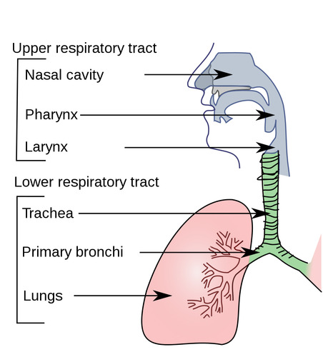 the journey through the respiratory Smoking and air pollution are two common causes of respiratory problems  8)  journey through the human body systems (grades 10-12) by c steakley & j.