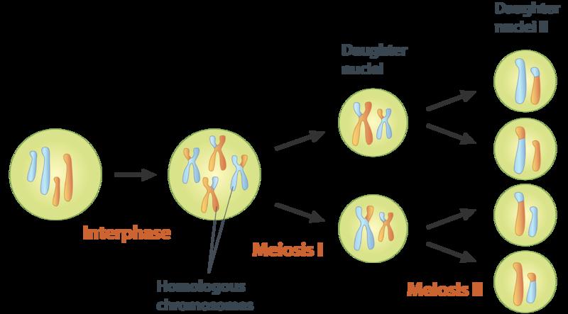 diagram of meiosis  diagram  free engine image for user manual download